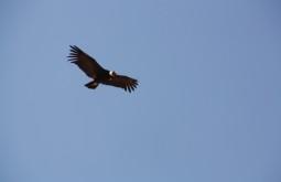 Um condor desde Plaza de Mulas - Foto de Maximilian Kaml