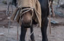 ACONCAGUA - Mula estacionada esperando para ser carregada, o pano na cabeça evita que o animal se assuste - Foto Gabriel Tarso