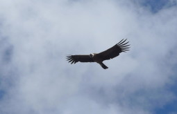 Condor voando baixo perto de Pelechuco