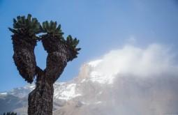 KILI - Árvores de 800 anos de idade no kilimanjaro - Foto Gabriel Tarso
