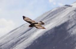 Um Matamico sobrevoando o nosso acampamento a 5200m - trata-se de um pássaro extremamente inteligente que frequenta acampamentos em montanhas de grandes altitudes - Foto de Diego Coco Calabro