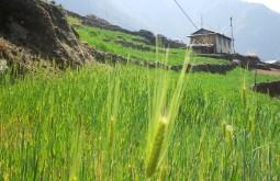 Trigo em Lukla, Nepal - Foto de Maximo Kausch