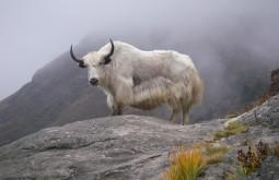 Yak em Dzongla, Nepal - Foto de Maximo Kausch