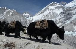 Yaks aproximando Dhugla, Nepal - Foto de Maximo Kausch