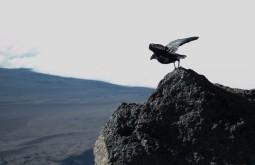 KILI - Corvo decolando de 5800m no dia de cume - Foto Gabriel Tarso