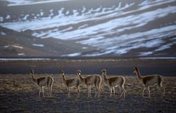 Vicuñas no caminho ao Sierra Nevada - Foto Caio Vilela