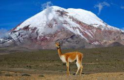 1200px-Vicuña_-_Chimborazo,_Ecuador