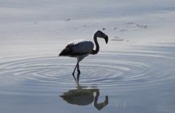 Flaminco em laguna Santa Rosa