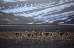 Vicuñas são os únicos habitantes da região - Foto de Caio Vilela